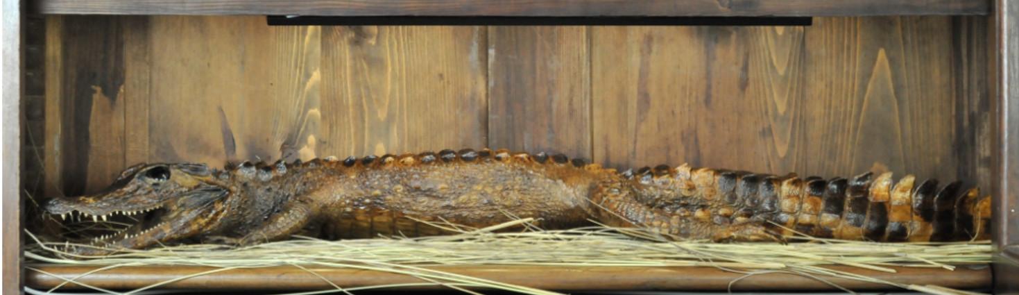 Photo d'un crocodile empaillé