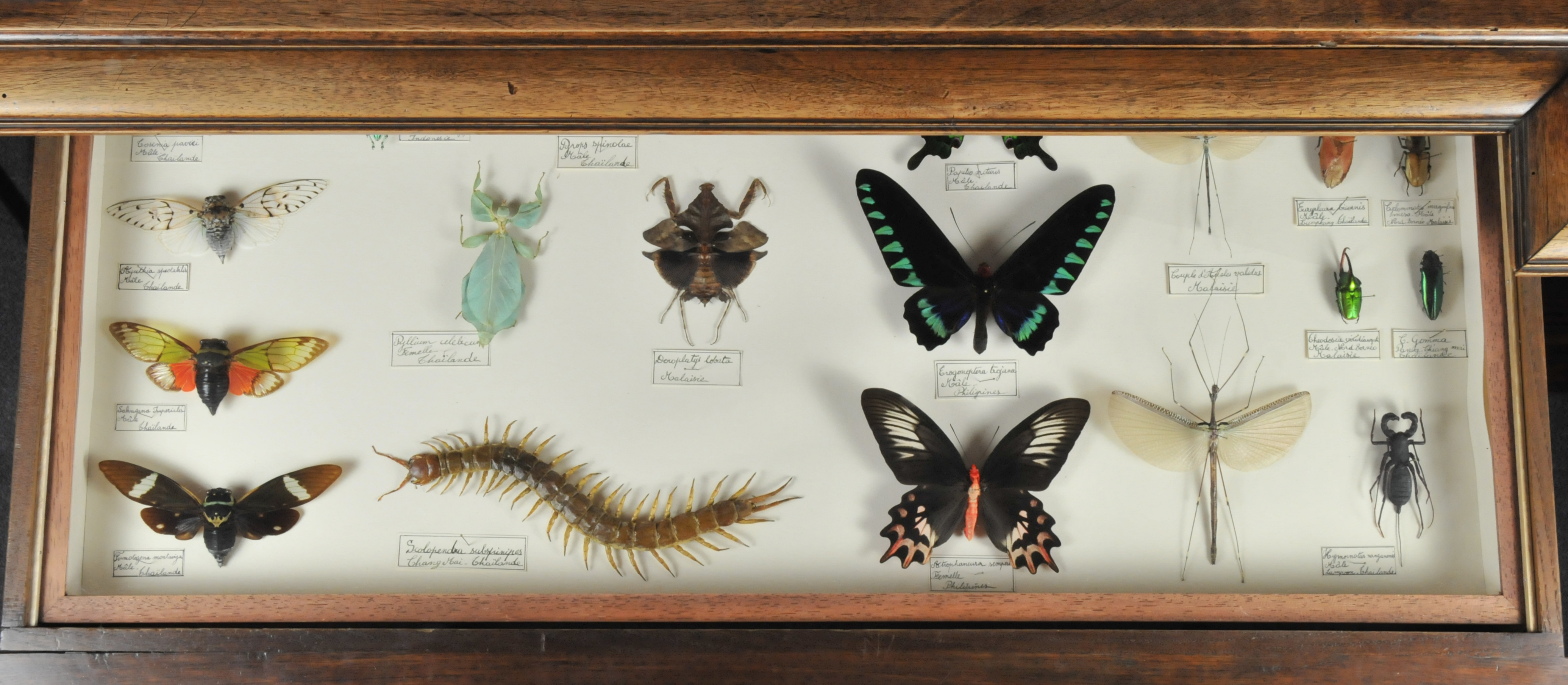 Insectes du Cabinet de curiosités